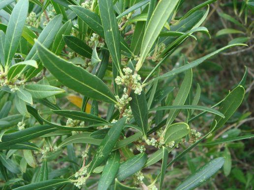 Labiernago 1280px-Phillyrea_angustifolia_3