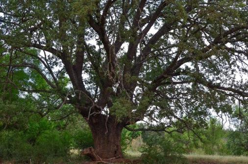 Quejigo del Guadiana (Del blog de Enrique Luengo)Mestos-11red