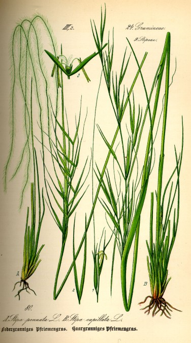 Illustration_Stipa_pennata0.jpg